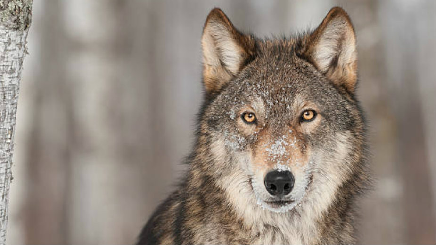 Procedura postępowania w sytuacjach konfliktowych człowiek - wilk